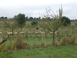 Shropshire Sheep, sheep grazing in trees, agroforestry