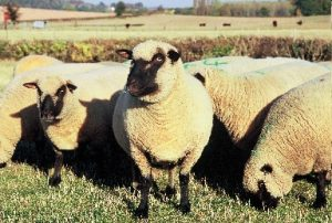 piddington-ewes-sept-04