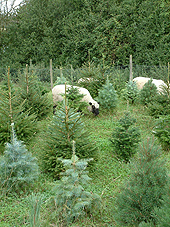 Shropshire sheep, sheep grazing in conifer trees, agroforestry
