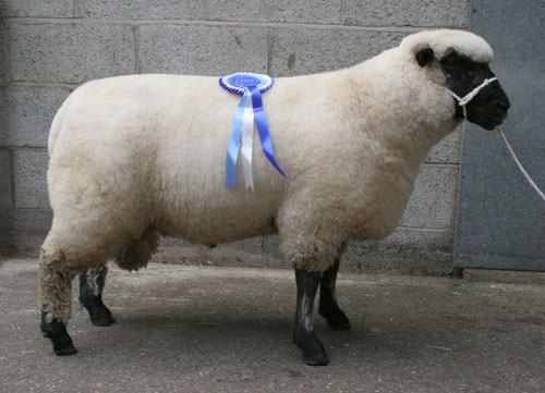 Chelford 2010 - Overall reserve Champion Sheep