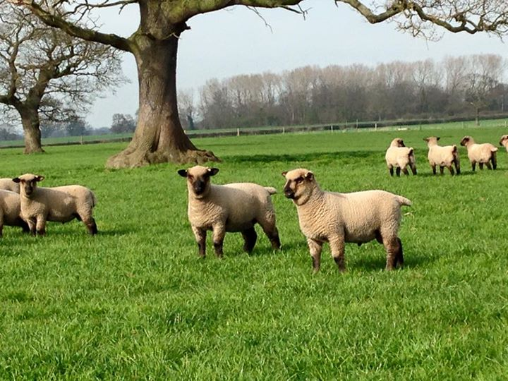 Shropshire-lambs-2015-Millenheath-Flock