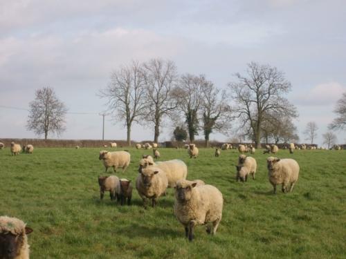 Shropshire ewes and lambs