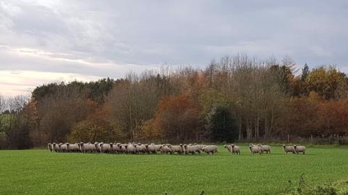Shropshire sheep, autumn colours