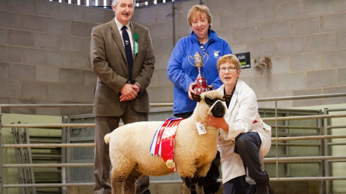 Champion and Winner of the Morley Tophy, M&S Shimwell, ewe lamb