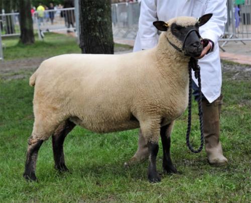 Shropshire sheep, Three Counties Show