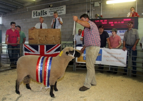 Shropshire Sheep, show and sale, Halls Livestock