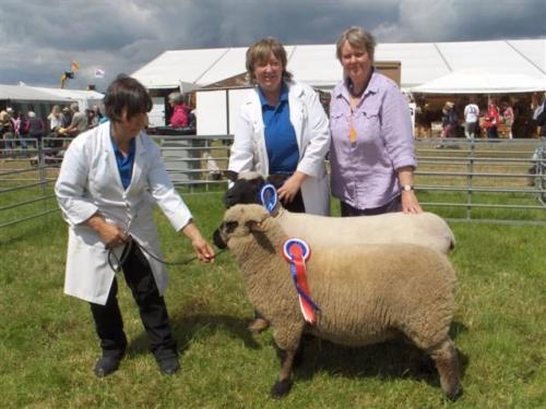 Shropshire sheep at Cheshire Show
