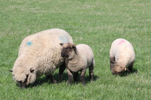 Shropshire sheep, lambs, twins