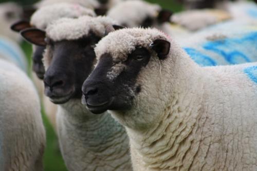 Shropshire sheep, Shropshire ewes