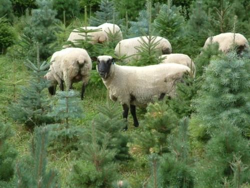 Shropshire Sheep, trees, agro-forestry, agri-forestry, agriforestry, agroforestry,