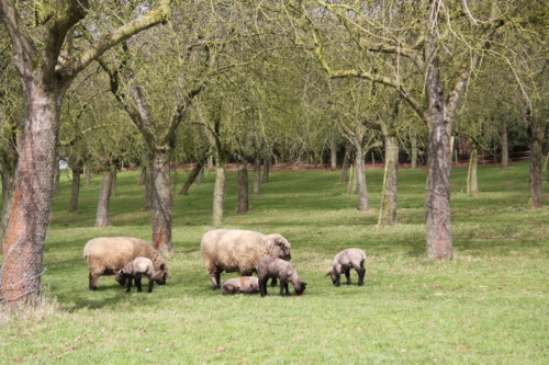 Shropshire sheep in trees, agroforestry, agriforestry, agro-forestry, agri-forestry