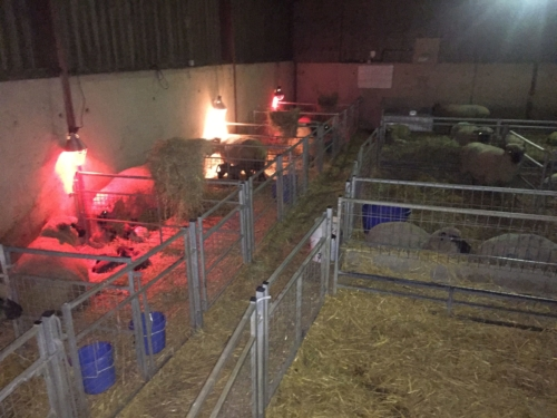 Shropshire sheep, lambing shed at night, lambing