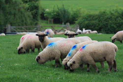 Shropshire sheep, Shropshire lambs at grass, grass reared,