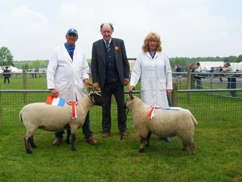 Shropshire Sheep, Stafford Show