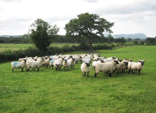 Shropshire sheep, Shropshire flock, sheep at grass