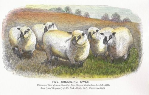 Shropshire sheep, five shearling ewes, history, oldest breed society in the UK