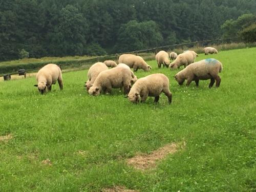 Shropshire sheep, lambs at grass, finishing off grass