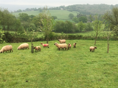 Shropshires ewes and their lambs grazing in young trees, agroforestry, sheep in trees