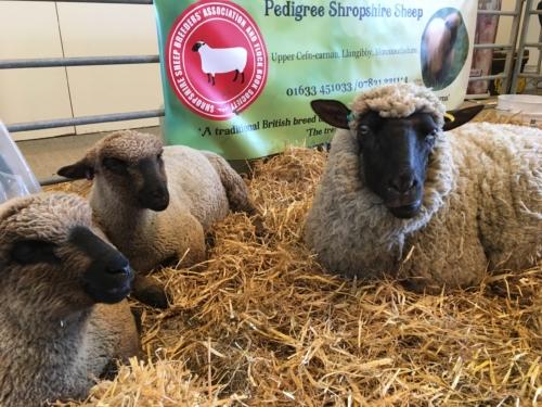 Shropshire sheep and lambs at Spring Festival