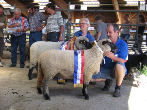 Shropshire sheep at a show in Switzerland