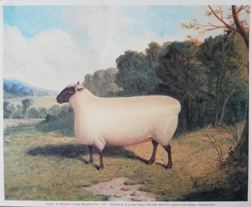 Shropshire sheep, Shropshire ewe, 1878