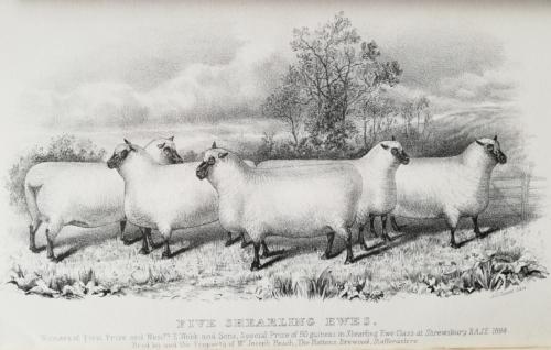 Shropshire sheep, Shropshire shearling ewes, 1884