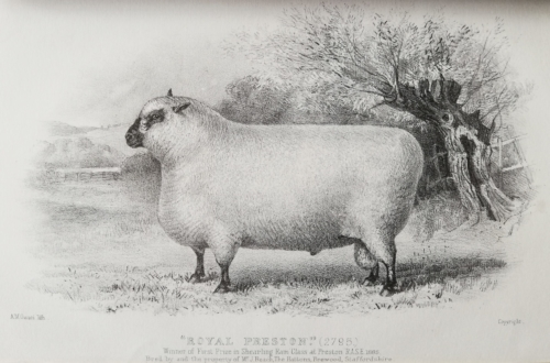 Shropshire sheep, Shropshire ram, 1885