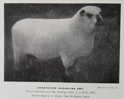 Shropshire sheep, Shropshire shearling ram, 1936