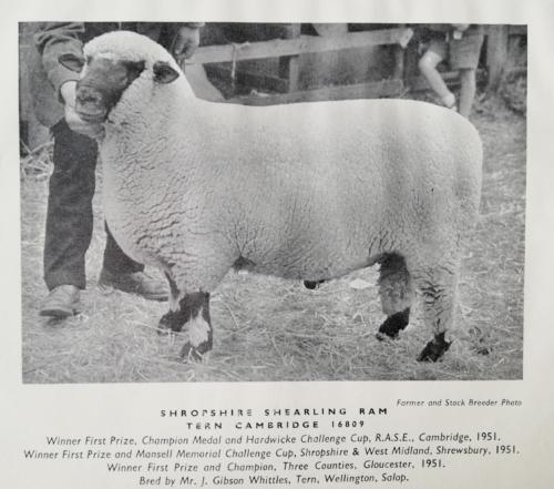 Shropshire sheep, Shropshire shearling ram, 1951