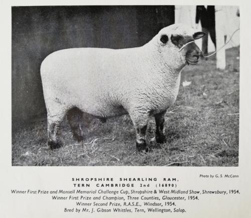 Shropshire sheep, Shropshire shearling ram, 1954