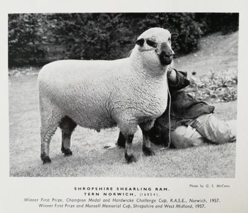 Shropshire sheep, Shropshire shearling ram, 1957