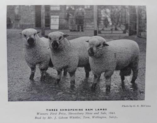 Shropshire sheep, Shropshire ram lambs, 1944