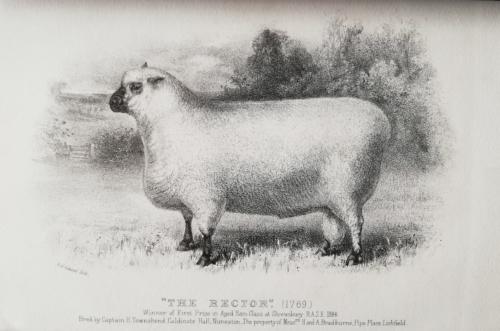 Shropshire sheep, Shropshire ram, 1769